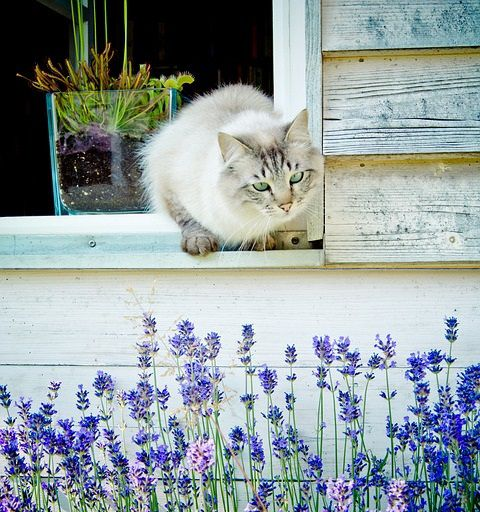lavender cat repellent plant